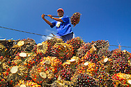 Labuk Bay, Sabah, Borneo, Malaysia, march 2006. Indonesian workers harvest palm oil nuts near Sandakan.  Photo by Frits Meyst/Adventure4ever.com
