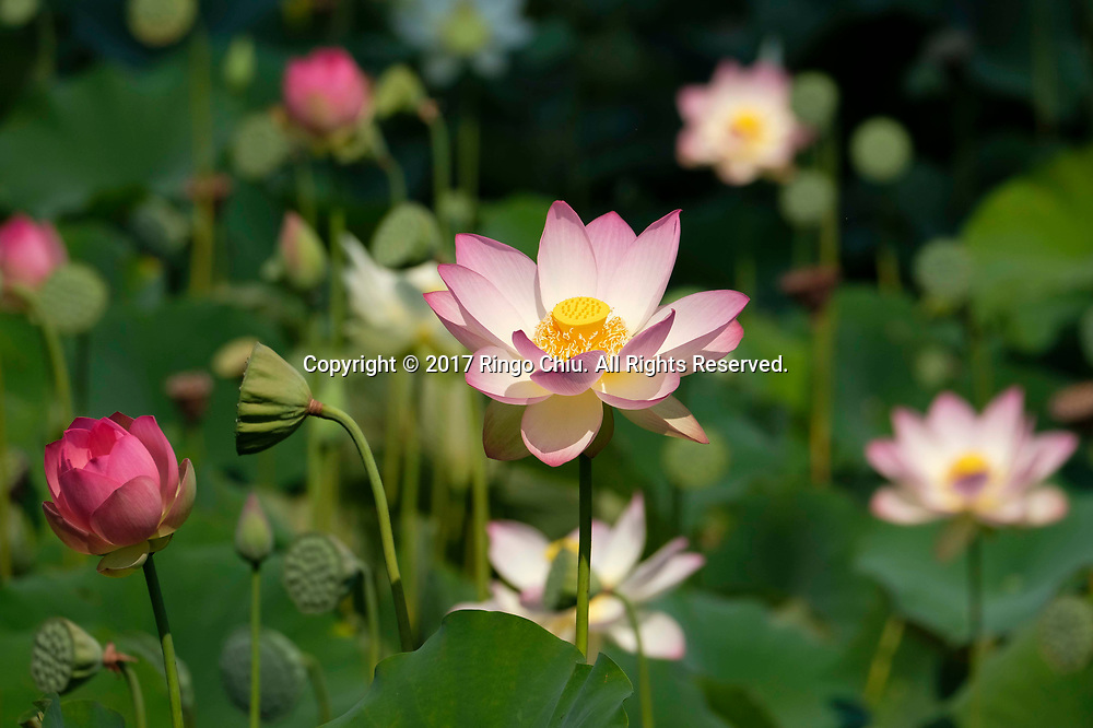 Lotus flowers blossom at Echo Park in Los Angeles on Wednesday, July 12, 2017 (Photo by Ringo Chiu)<br /> <br /> Usage Notes: This content is intended for editorial use only. For other uses, additional clearances may be required.