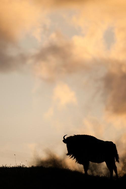 European bison (Bison bonasus) standing on a dune top at sunrise