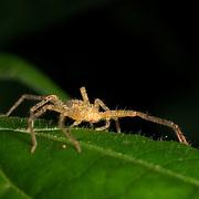 Sac spider Clubionidae