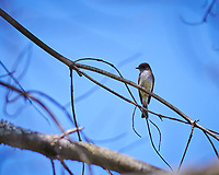 Eastern Phoebe in a tree. Image taken with a Nikon D850 camera and 105 mm f/1.4 lens (ISO 64, 105 mm, f/1.4, 1/5000 sec).