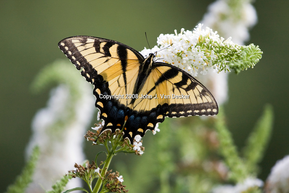 Eastern Tiger Swallowtail Butterfly with wings spread on white lilac flower, Papilio glaucus