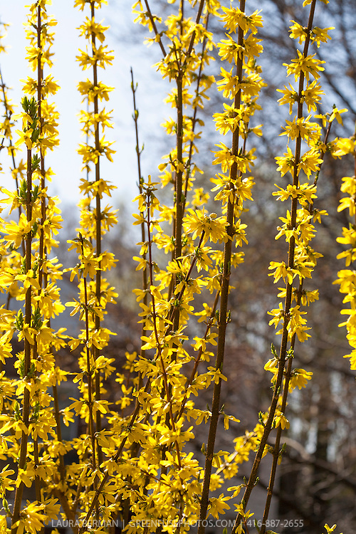 Showy border forsythia (Forsythia intermedia 'Spectabilis')