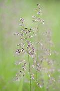 Close up of grasses in meadow, Kuhmo, Finland, Lentiira, Vartius near Russian Border