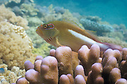 Arc-eye or Ring-eye Hawkfish (Paracirrhites arcatus) on Acropora palifera coral - Agincourt Reef, Great Barrier Reef, Queensland, Australia.