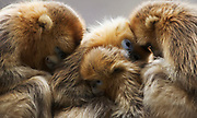 Golden snub-nosed monkeys  (Rhinopithecus roxellana qinlingensis) family group/harem resting/sleeping/cuddling, Zhouzhi, Shaanxi, China.