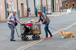 © Licensed to London News Pictures. 18/08/2018. Llanelwedd, Powys, UK. Corgis set off for home after judging on the second day of The Welsh Kennel Club Dog Show, held at the Royal Welsh Showground, Llanelwedd in Powys, Wales, UK. Photo credit: Graham M. Lawrence/LNP