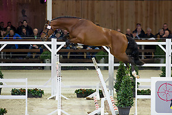 088, Igelo<br /> BWP Hengsten keuring Koningshooikt 2015<br /> © Hippo Foto - Dirk Caremans<br /> 23/01/16