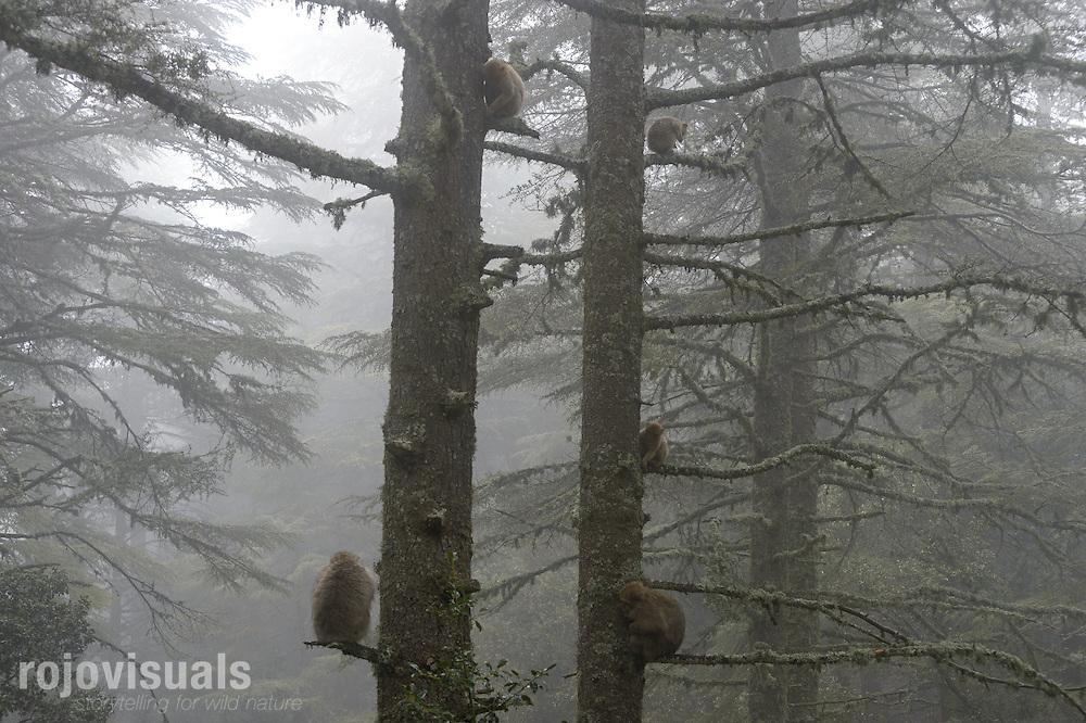 Barbary Macaque (Macaca sylvanus)<br /> Atlas cedar forests of Ifrane National Park<br /> Morocco