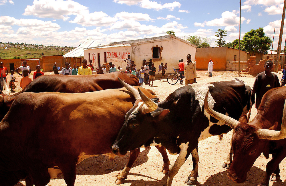 A herd of Oxen pass the Centre Popular health centre where doctors from MSF test for malaria using rapid test kits in Bie province, Angola..