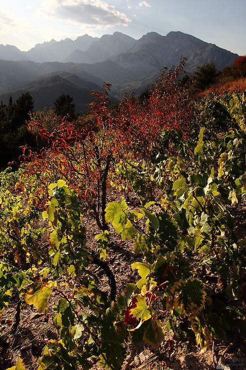 Red leaves on the vineyards near San Pedro de Bedoya, northern Spain; the grapes are used to make Ojeda, a local firewater.