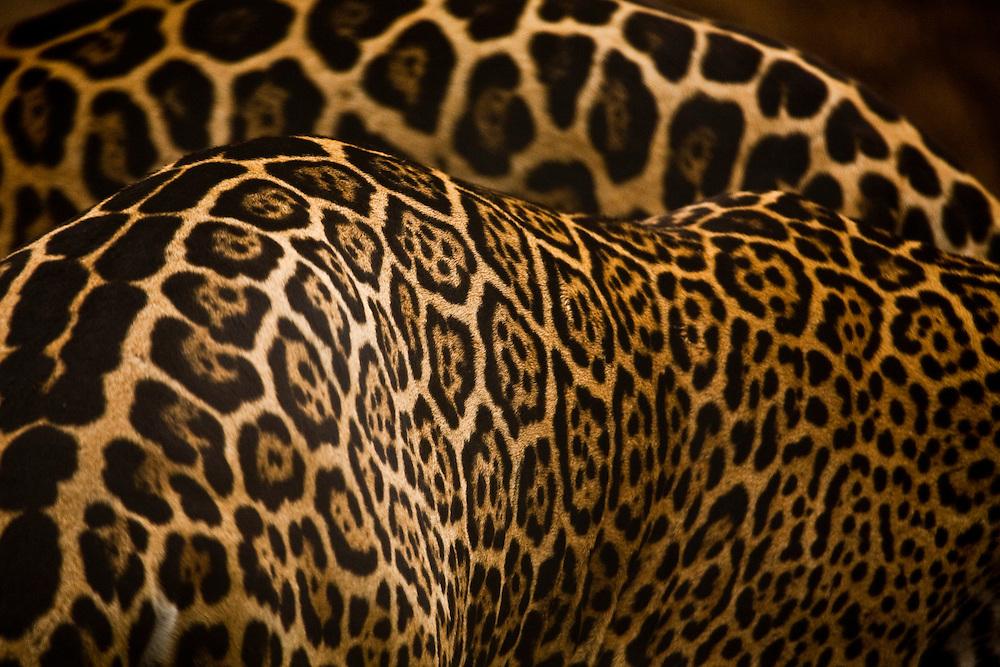 Cuiaba_MT, Brasil...Onca-pintada (Panthera onca) no Zoologico da UFMT (Universidade Federal do Mato Grosso)...Jaguar (Panthera onca) in the Zoological of  UFMT (Federal University of Mato Grosso)...Foto: JOAO MARCOS ROSA  / NITRO..