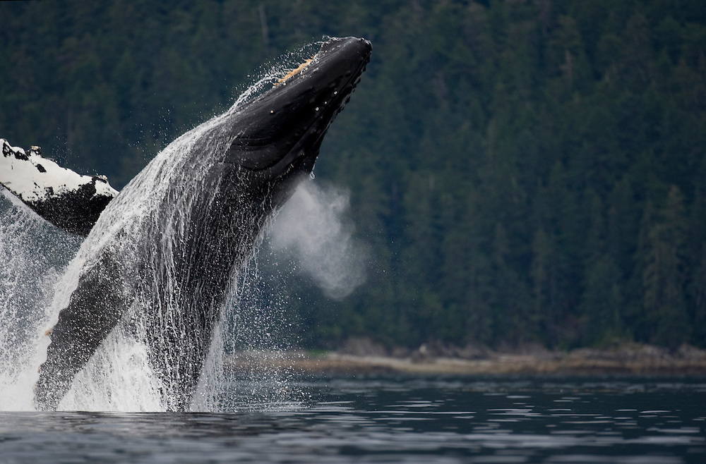 USA, Alaska, Humpback Whale (Megaptera novaengliae) breaching in Frederick Sound on summer morning