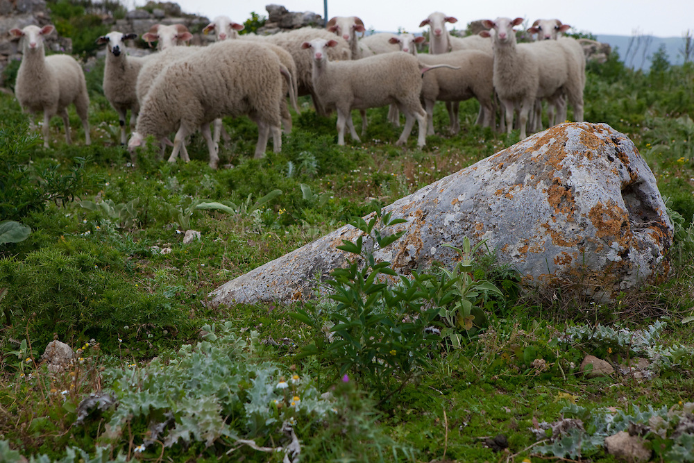 "Sheep at the ancient Hellenic city of Polyrinia, Crete. The place name means ""many sheep"" and it was the most fortified city in ancient Crete."
