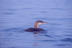 Female Great Northern Diver (Gavia immer) AKA Common Loon, Castine, Maine