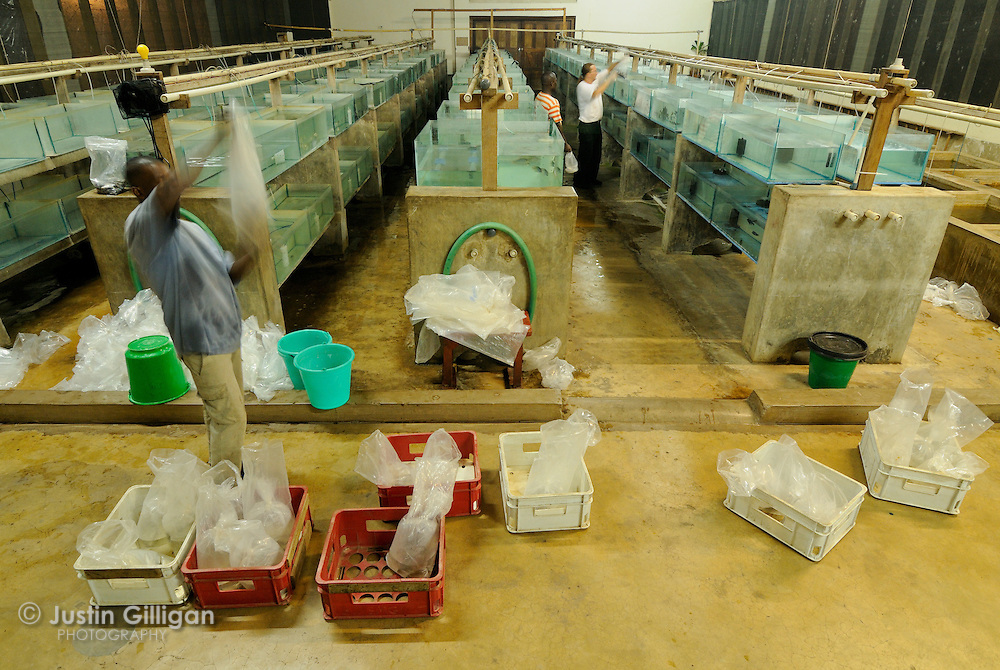 A shipment of fish from Likoma Island is unpacked at the Stuart Grant Tropical Fish Farm for overseas export, Lake Malawi, Malawi.