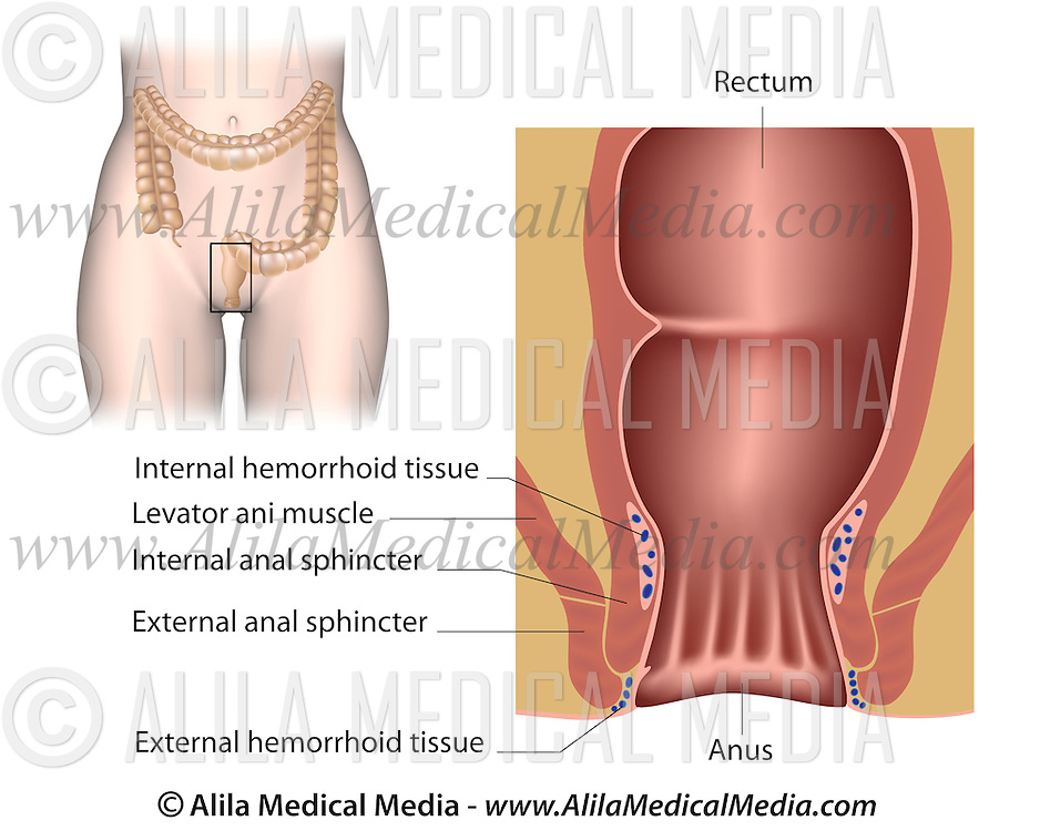 The Anal Canal Alila Medical Images