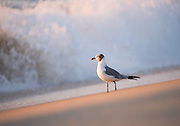 Loved how this Laughing Gull shined in the beautiful light on the beach this morning.  Fenwick Island, Delaware