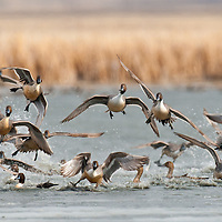 northern pintail flock rises above wetlands and pond facing into the camera, on their way to feed