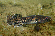 Alaska Blackfish, Underwater