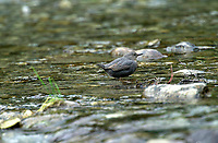 American Dipper (Fulica americana), Elbow Falls, Kananaskis Country, Alberta, Canada   Photo: Peter Llewellyn
