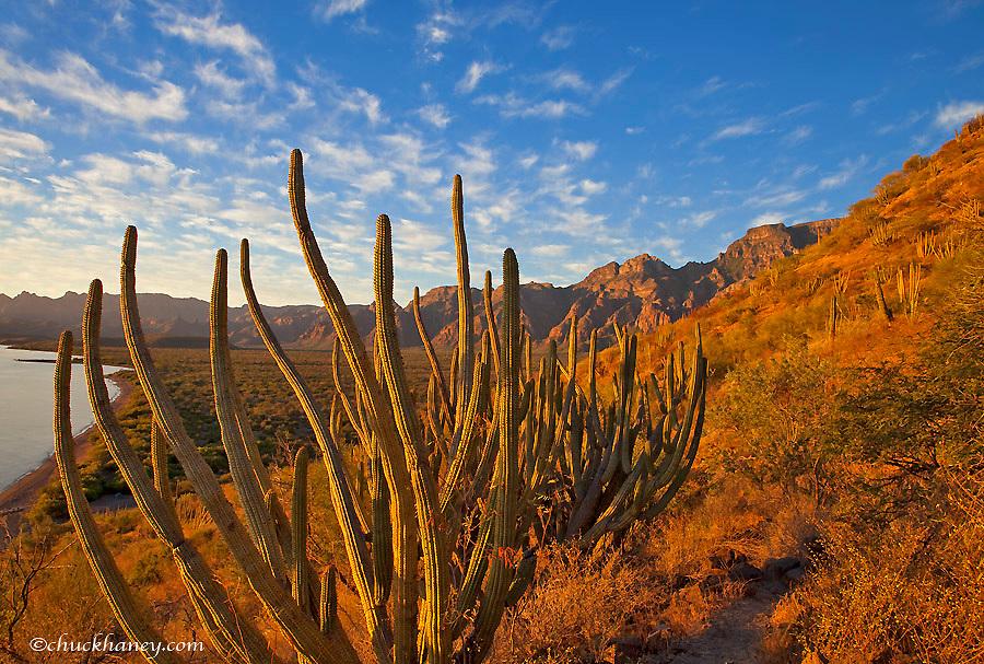 Organ Pipe cactus and the Sierra de la Giganta Range near Loreto Mexico