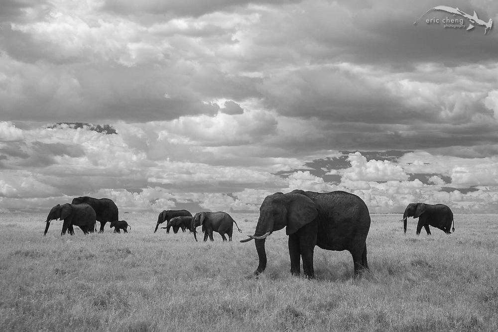 A herd of African bush elephant (Loxodonta africana) photographed in near-infrared, Serengeti, Tanzania