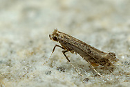 Leaf Blotch Miner Moth (Parornix sp.)<br /> United States: Alabama: Tuscaloosa Co.<br /> Tulip Tree Springs off Echola Rd.; Elrod<br /> 10-Oct-2017<br /> J.C. Abbott #3003