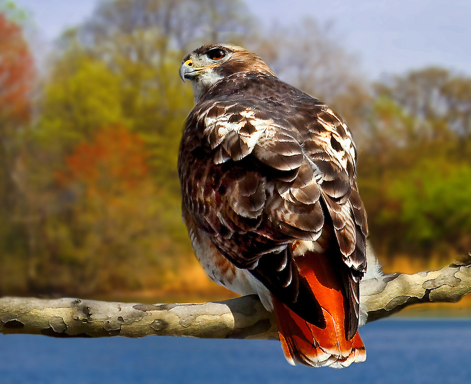 redtailedhawk,lake,tree