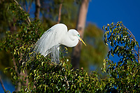 Great Egret (Ardea alba) in breeding plumage perched in a tree, Jocotopec, Jalisco, Mexico