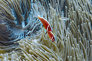Pink skunk clownfish-Poisson clown à collier (Amphiprion perideraion), Nusa Penida island, Bali, Indonesia.