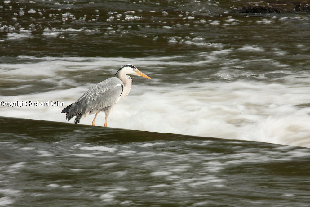 Slow exposure photograph of a Grey Heron on the top of Blackaller Weir on the River Exe, next to the Mill on the Exe, part of the old paper mill.