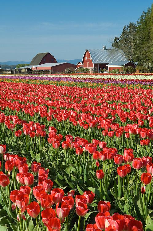 Tulip field at Tulip Town, Skagit Valley, Washington.