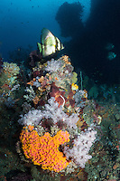 A Pinnate Spadefish hovers above a colorful coral head.<br /> <br /> Shot in Indonesia