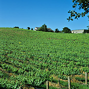 Vineyard.<br /> Lompoc, California. USA