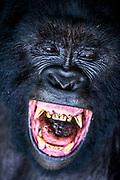 Silverback Mountain gorilla (Gorilla beringei beringei) in the Virunga National Park,  Democratic Republic of the Congo