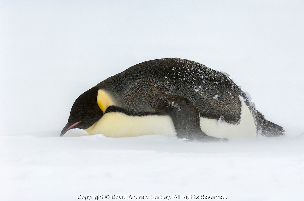 An Emperor Penguin (Aptenodytes forsteri) in its windy environment, Snow Hill Island, Weddell Sea, Antarctica.
