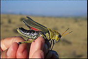 A large number of the Mexican grasshopper, chapuline, which is collected along with its brethren for human consumption all over the country, especially in the southern state of Oaxaca, Mexico. (page 110)