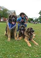 Wantagh, New York, USA. July 4, 2015. ADAM EZEGELIAN, American Idol Season 14 finalist and Wantagh resident, poses with three Leonberger breed dogs, the NYC Boys, L-R, Mr. America, Hollywood, and Magneto, after Ezegelian sang at start of The Miss Wantagh Pageant ceremony after the Wantagh July 4th Parade, a long-time Independence Day tradition on Long Island. The large brown and black dogs are in the movie The Equalizer, Off-Broadway plays, Westminster Dog Show, and are Therapy Dogs.