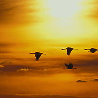 Sandhill cranes. Bosque del Apache National Wildlife Refuge, New Mexico.