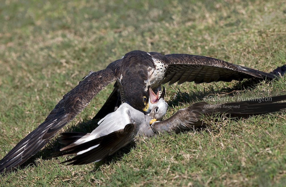 Peregrine falcon delivering the coupe de grace to a laughing gull, Everlgades National Park, Florida