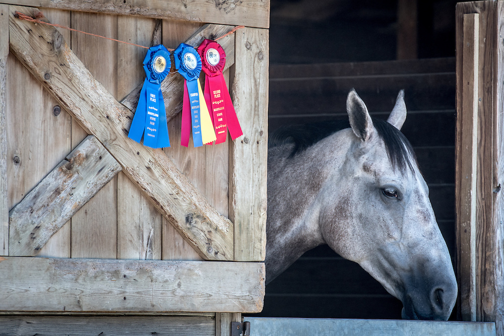 Timonium, Maryland - a horse in a stable stands next to a row of placement and prize ribbons at the 2016 Maryland State Fair.