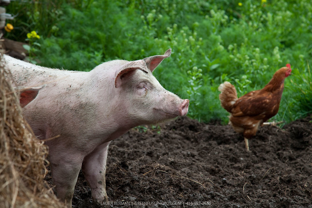Pig And Chicken Greenfuse Photos Garden Farm Amp Food