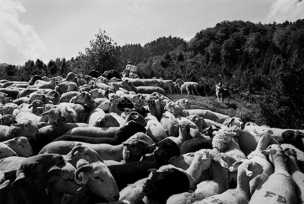 The flock of sheep and the shepperd's dog during the summer transhumances in the valley of Bethmale in the Pyrenees, France.