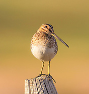Snipe on Fence Post near Ear Mountain on RMF