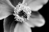 A hoverfly gently rests on an anemone flower.