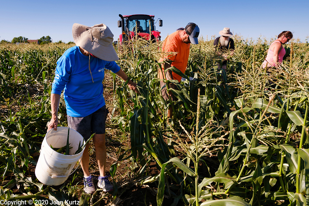 27 JULY 2020 - CARLISLE, IOWA: CARLENE RUSSELL, left, a retired  nutritionist from Des Moines, and others glean sweet corn on the Butcher Creek Farm in Carlisle. Volunteers from Eat Greater DSM gleaned sweet corn in the fields on the farm. The corn was packaged and will be distributed to Des Moines emergency pantries, community centers, and churches this week. Gleaning is the act of collecting leftover crops from farmers' fields after they have been commercially harvested or gathering crops from fields where it is not economically profitable to harvest. It is an ancient tradition first described in the Hebrew Bible. A spokesperson for Eat Greater DSM said food assistance need has skyrocketed this year. In a normal year, they distribute about 300,000 pounds of food. Since the start of the COVID-19 pandemic in March, they've distributed more than 500,000 pounds of food.         PHOTO BY JACK KURTZ