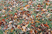Autumn leaves on grass in city park (Southdale)<br /> Winnipeg<br /> Manitoba<br /> Canada
