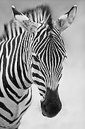 Animals B/W