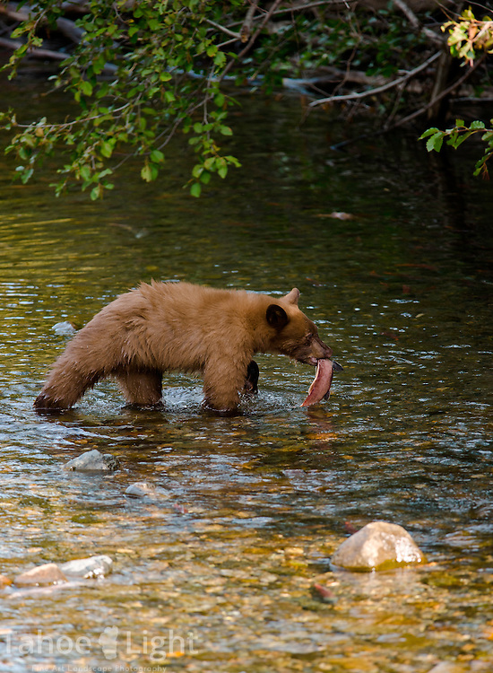 Bears fishing on taylor creek in south lake tahoe